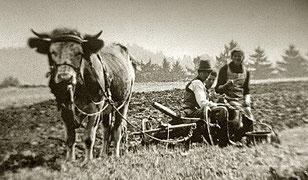 Jausenzeit während des Pflügens (um 1930). Maria Moritz (Foto: rechts) führte noch bis 1978 ein Ochsengespann... (Foto: Maria Moritz)
