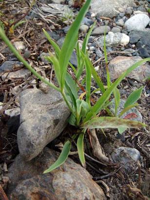 カワラニガナの根生葉