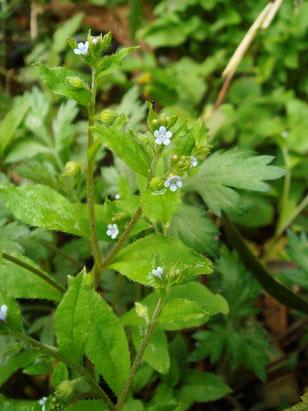 ハナイバナ (葉内花) ムラサキ科 ハナイバナ属