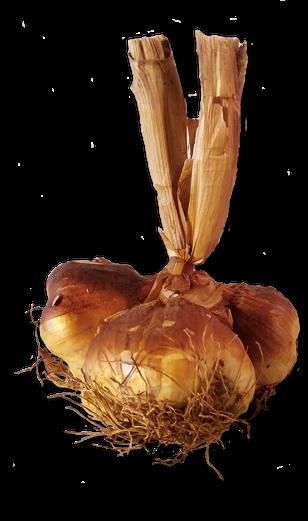 Knoblauch; geräuchert; Frankreich; Arleux; geräucherter Knoblauch