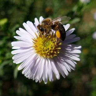 Pollen sammelde Biene auf einer weiß-gelben Blüte mit allen Sinnesorganen wahrzunehmen. Die Biene hat fleißig gesammelt. Deutlich ist der Pollen zu erkennen.