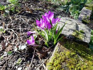 Krokusse als Frühlingsboten. Rundherum noch kahle Erde durch die neues Leben hervorbricht.