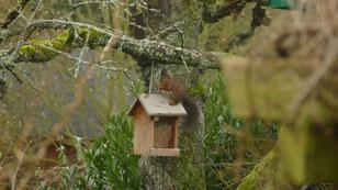 Eichhörnchen am Futterhaus. Oh wie lecker sind die Nüsse! Schmecken Sie! Genießen Sie!