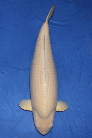 Chagoi Gosai 75 cm