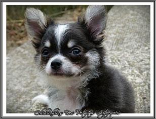 Chihuahua bleu poils longs LOF - Elevage Des Petits Aztèques