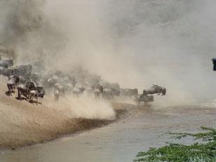 die Flussüberquerungen während der Migration aus der Serengeti