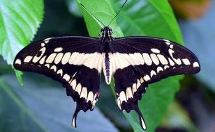 Schwalbenschwänzer Schmetterling
