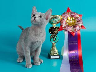 Благомира Лучший короткошерстный котенок выставки!