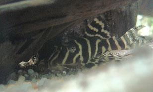 Königstiger-Harnischwels, Hypancistrus spec. L 66