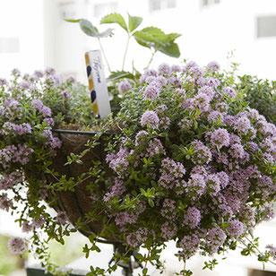 咲き誇るタイムの花