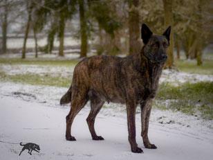 drachtige hond in de sneeuw.. mijn verveeld gestreept model.