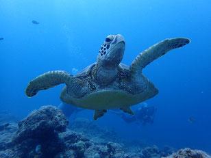 石垣島でのんびりダイビング「大崎海亀フィーバー」ヒートハートクラブ