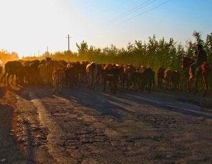 Viehherden benutzten wie selbstverständlich die Strasse
