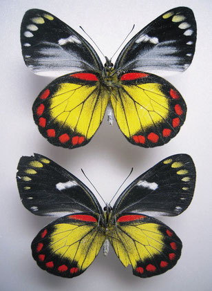 Delias eumolpe ボルネオカザリシロチョウ  上:♂裏面 下:♀裏面