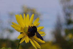 blaue Holzbiene an Blumenblüte
