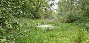 In den Rheinauen finden sich noch Primär-Habitate der Gelbbauchunke