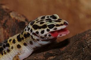 Leopardgeckoe Vitamine Kalzium Mehlwürmer