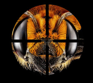 Zum Abschuß freigegeben? [Megachile lanata, Quelle: USGS Bee Inventory and Monitoring Laboratory - Wikipedia 2012]