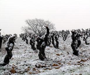 Carignan des Truques - vigne de 35 ans