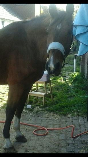 revalidatie paard, paard gered