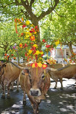 Vaches Aubrac pour l'estive