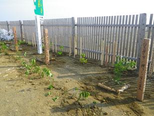 皇居で採種した苗木
