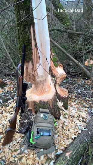 Ein weiteres Beispiel der massiven Biberspuren. Die Biber scheinen im November besonders viele Bäume zu Fällen.
