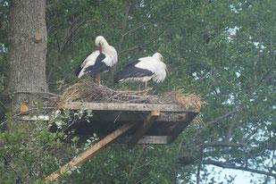 Auf einer extra angebrachten Holzplatte ist ein noch im Bau befindliches Storchennest, in dem ein Storchenpaar steht.