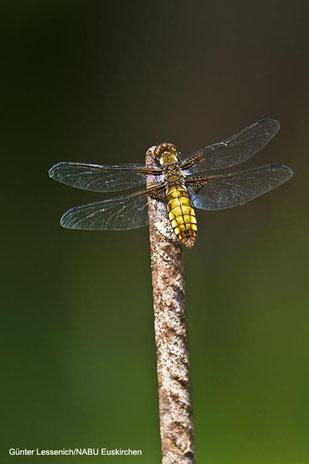 Foto: Plattbauchlibelle Junges Weibchen