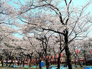 「西公園」は、桜の名所としても有名です。通行止めになり、屋台が並んでにぎわいます。