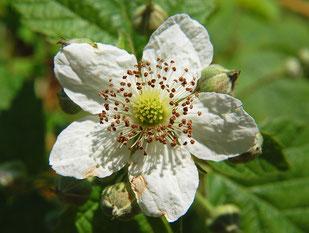 Fleur de ronce - Rubus fruticosus