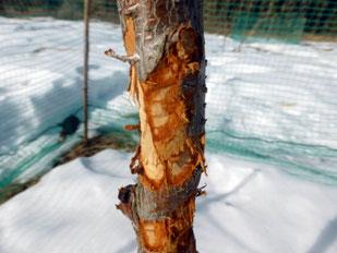 樹皮の食害2