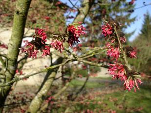 des pompons roses couvrent les branches en plein hiver