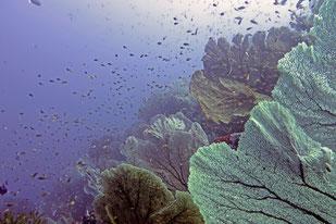 Seafan, ghost pipefish, Pulau Weh