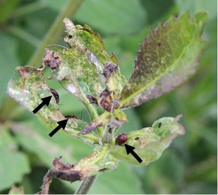 Figure 6.  Adenophora triphylla var. japonica leaves damaged by the plant bug Strongylocoris leucocephalus. Arrows indicate S. leucocephalus larvae.