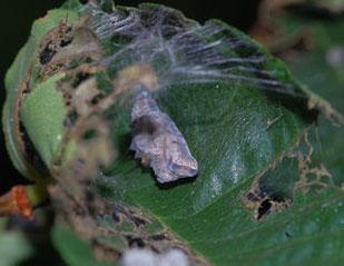 アカタテハの蛹