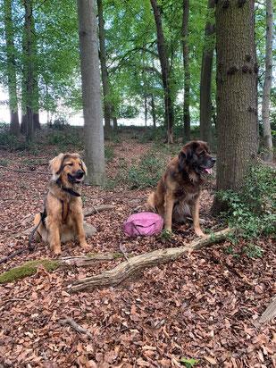Loki, germanischer Bärenhund und Jala, wildfarbener Hovawart