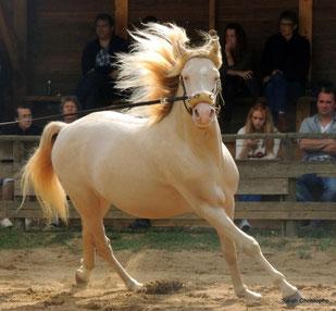 Fotovorlage für Pferdegemälde Morgan Hengst