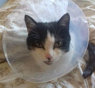 Katze Kessy nach OP, Foto vom Halter