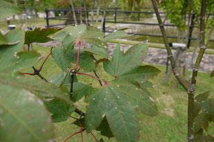Acer sinensis