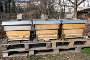 Unser Ursprungs-Bienenvolk (rechts) und die die beiden Ableger haben den Winter überstanden!