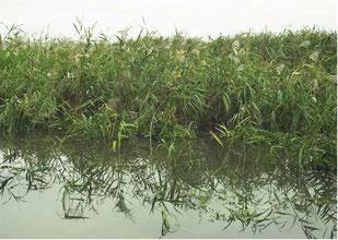 水位の上昇したヨシ原を撮った画像