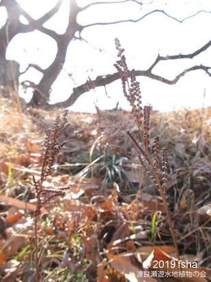 画像:2019/01/30 コウヤワラビの胞子葉