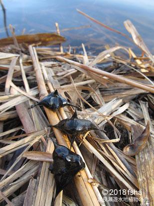 画像:2018/01/20 第1調節池内の池の水際のコオニビシの実