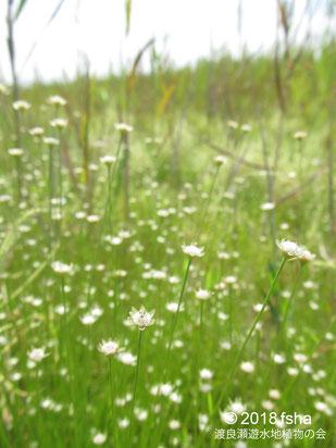 画像:2018/09/08 イトイヌノヒゲの小さな花が群生