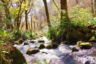 木谷沢渓流はブナに囲まれた気持ちのいいスポット