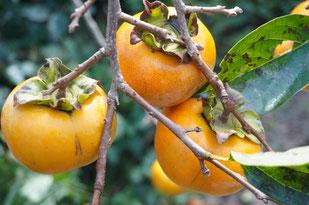 柿のしぶ抜き
