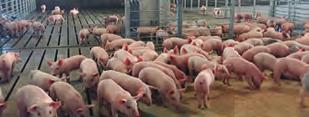 Los buenos datos del sector porcino impulsan el crecimiento de la renta agraria