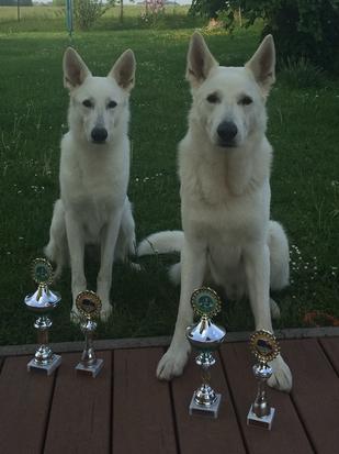 Weiße Schweizer Schäferhunde Gracie Elayne und Dusty Sir