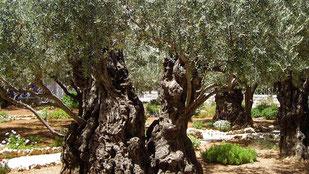 推定樹齢300年のオリーブの樹 (www.diariodegastronomia.com)
